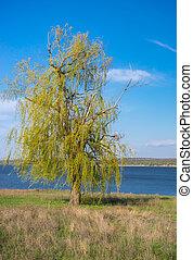 синий, украина, центральный, dnipro, ива, небо, дерево, против, безоблачный, рыдание, весна, берег реки, время года