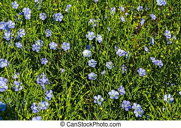 синий, цветение, field., лен