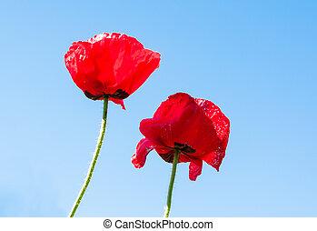 синий, цветок, небо, задний план, мак, красный