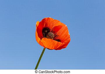 синий, цветок, небо, против, мак, красный