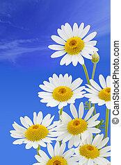 синий, цветок, небо, против, маргаритка