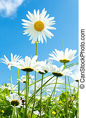 синий, цветок, небо, против, поле, маргаритка