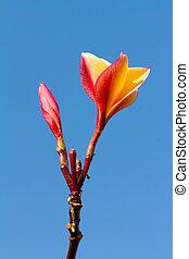 синий, цветок, небо, plumeria, против
