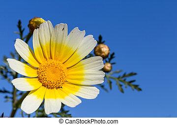 синий, цветок, центр, небо, против, желтый, маргаритка, белый