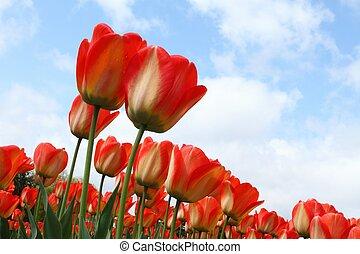 синий, цветок, tulips, небо, постель, против, красный
