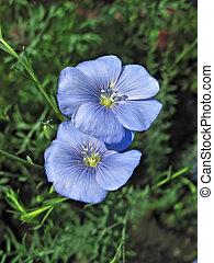 синий, цветы, два, лен