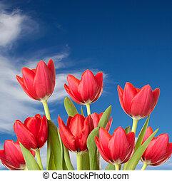 синий, clouds, tulips, небо, против, красный