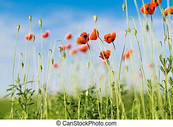 синий, composition., природа, sky., против, поле, мак