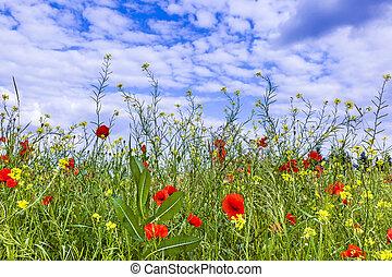 синий, poppys, луг, небо, под, цветы