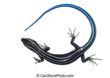 синий, skink, хвост, ящерица