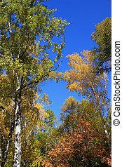 синий, tops, autumn., небо, против, береза