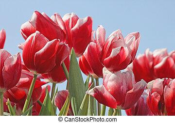 синий, tulips, над, небо
