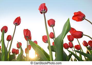 синий, tulips, небо, красный, против