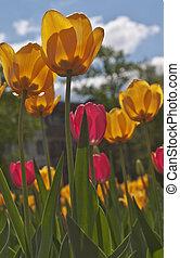 синий, tulips, небо, против, желтый, красный