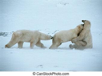 снег, bears, три, полярный