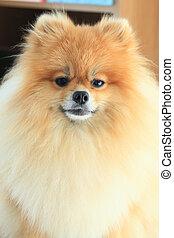 собака, померанский, домашнее животное, пушистый, лицо, крупным планом, груминг