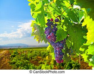 созревший, виноград