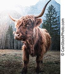 солнце, нагорье, утро, крупный рогатый скот
