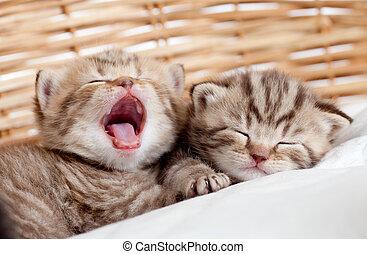 спать, плетеный, kittens, два, yawning, веселая, корзина