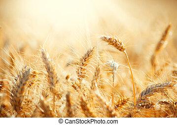 сухой, уборка урожая, золотой, wheat., поле, концепция