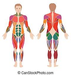 тело, мышца