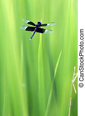 темно, синий, трава, стрекоза