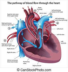 течь, через, кровь, сердце