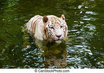 тигр, воды, белый