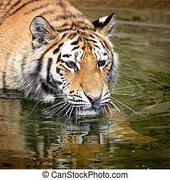 тигр, воды, сибирский