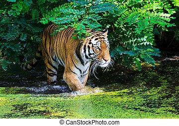 тигр, воды