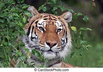 тигр, портрет, сибирский