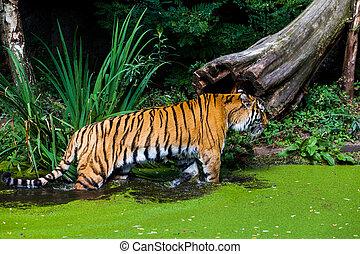 тигр, water.