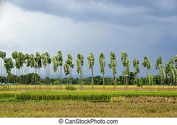 тик, rows, ricefields, trees