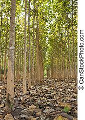тик, trees, таиланд