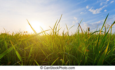 трава, закат солнца