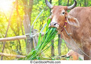 трава, принимать пищу, корова, утро