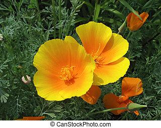 трава, eschscholzia, против, зеленый, оранжевый, poppy), (california