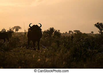 утро, африка, кения, буйволы
