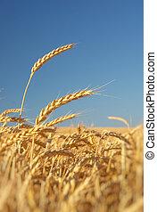 ухо, wheat.