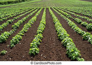 ферма, зеленый, vegetables, lines, field.