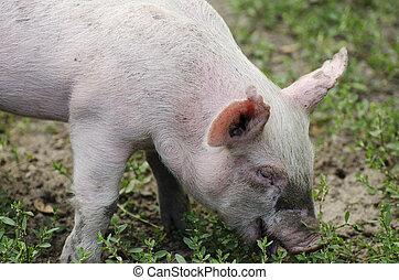 ферма, страна, растение, принимать пищу, свинья