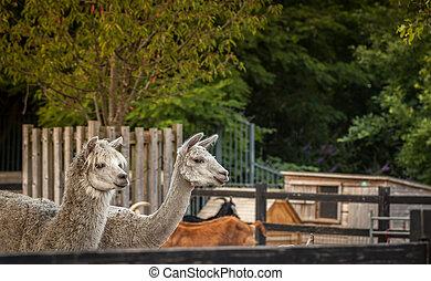 ферма, alpacas