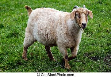ферма, animals, -, козел