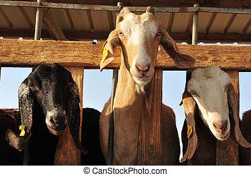 ферма, animals, -, goats