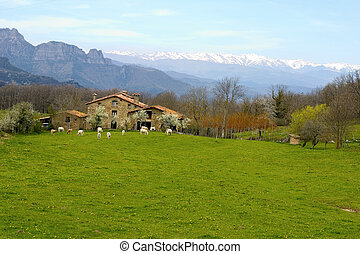 ферма, cows