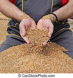 фермер, пшеница, сельское хозяйство, урожай, уборка урожая