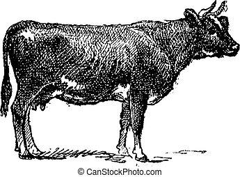 фламандский, крупный рогатый скот, engraving., разводить, марочный