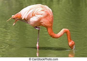 фламинго, принимать пищу