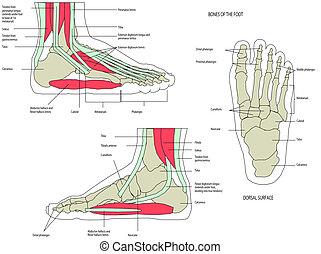 фут, анатомия, нога, человек