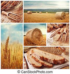 хлеб, пшеница, harvesting